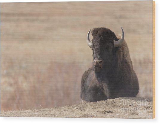 King Of The Hill At Custer State Park South Dakota Wood Print