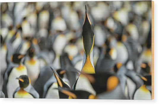 King Penguin Displaying Wood Print