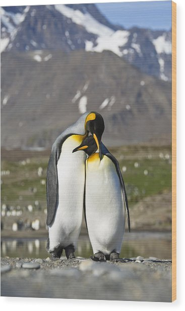 King Penguins Courting St Andrews Bay Wood Print