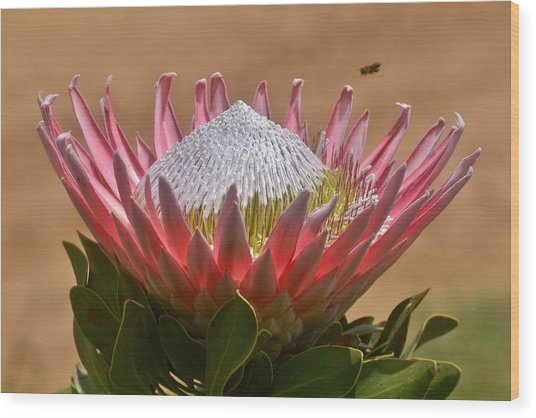 King Protea Wood Print