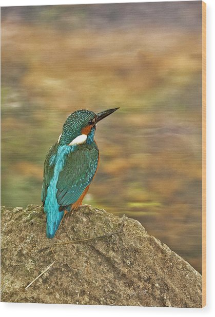 Kingfisher At Rest Wood Print