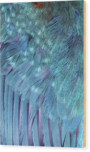 Kingfisher Wing Feathers Wood Print by John Devries/science Photo Library