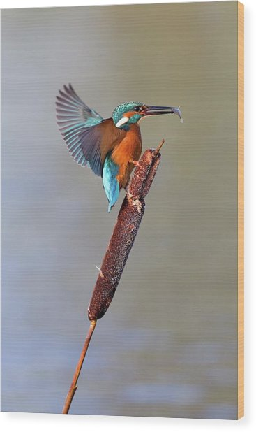 Kingfisher With Fish Wood Print by John Devries/science Photo Library