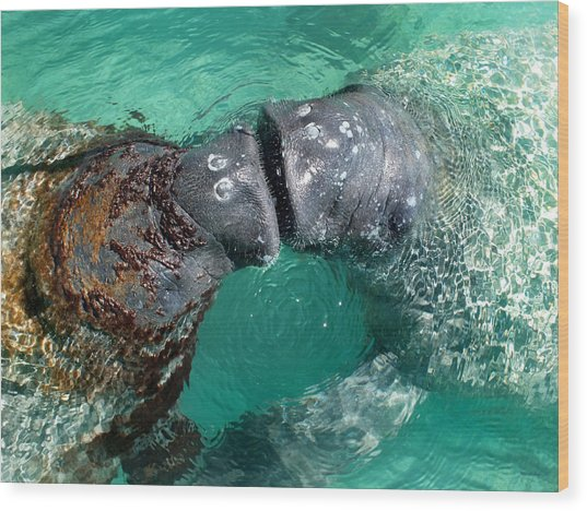 Kissing Manatees Near Harbour Island Wood Print