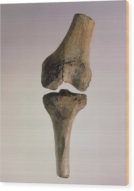 Knee Joint Of Australopithecus Afarensis Wood Print by John Reader/science Photo Library