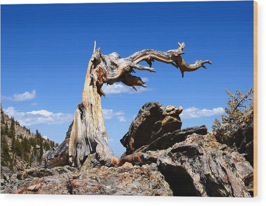 Krumholz At Timberline Wood Print