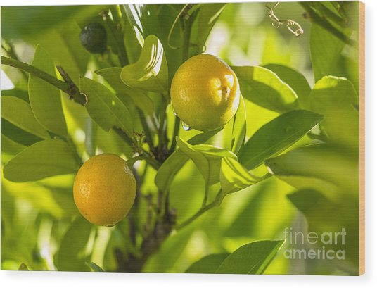 Kumquats Wood Print