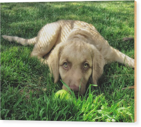 Labrador Puppy Wood Print by Larry Marshall