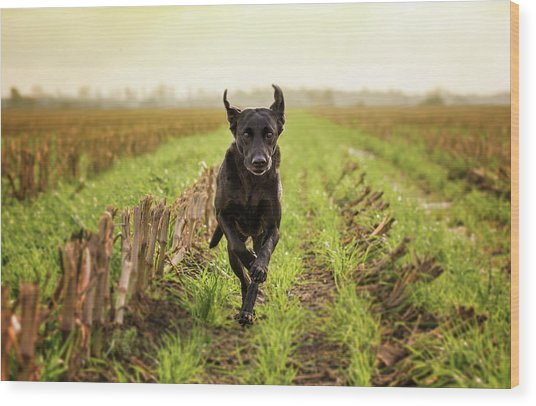 Labrador Retriver Running Wood Print by Faba-photograhpy