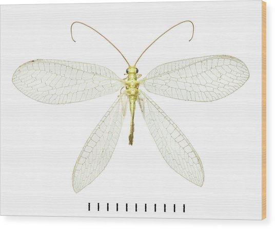 Lacewing Wood Print by Natural History Museum, London