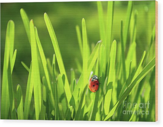Ladybug In Grass Wood Print