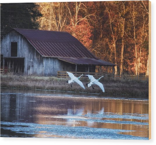 Landing Trumpeter Swans Boxley Mill Pond Wood Print
