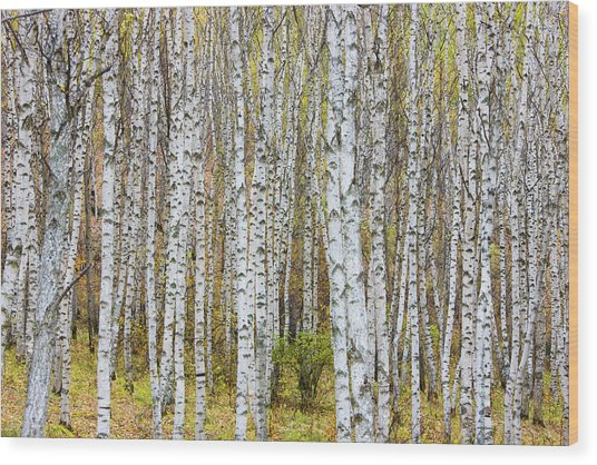 Landscape Of Birch Forest Wood Print
