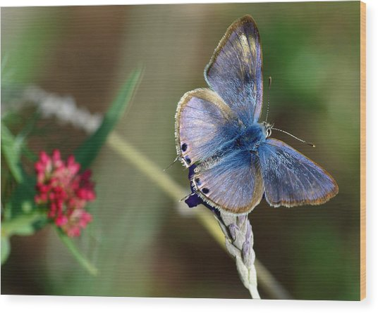 Lang's Short-tailed Blue Wood Print
