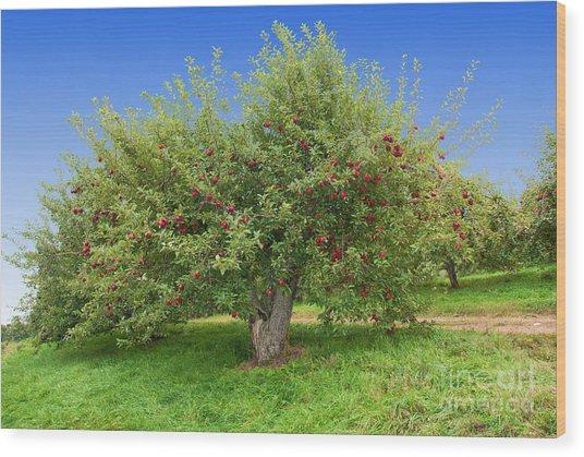 Large Apple Tree Wood Print