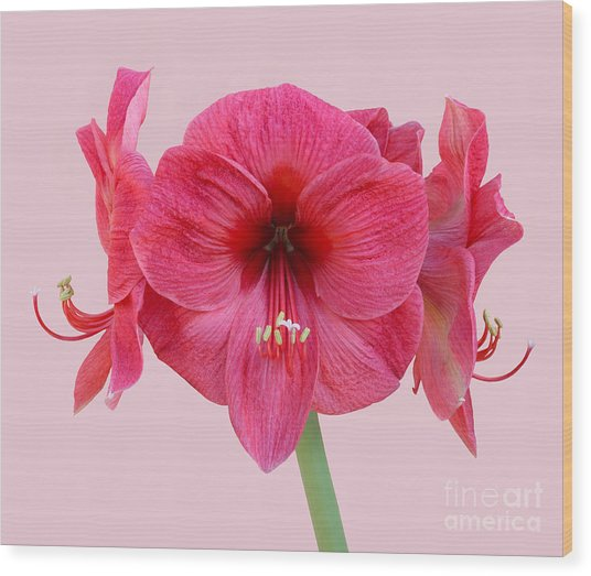 Large Pink Amaryllis With Silky Petals On Pink Wood Print by Rosemary Calvert
