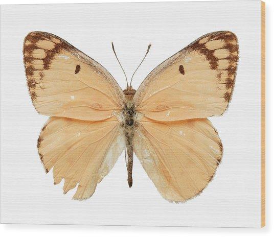 Large Salmon Arab Butterfly Wood Print