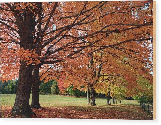 Large Sugar Maple Trees, Acer Wood Print