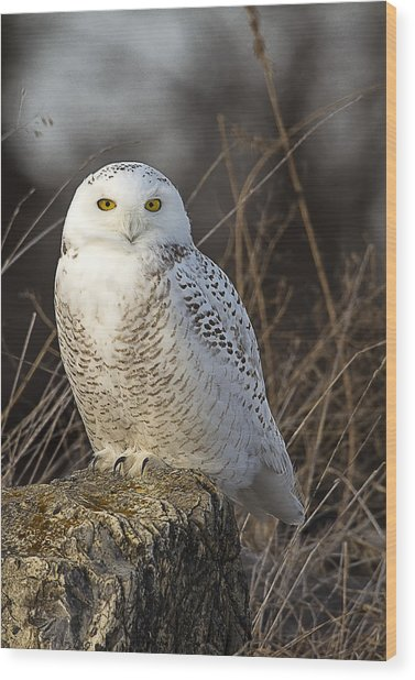 Late Season Snowy Owl Wood Print