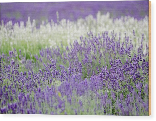 Lavender 4 Wood Print by Rob Huntley