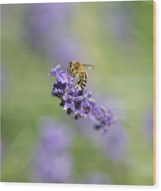 Lavender Buzz Wood Print