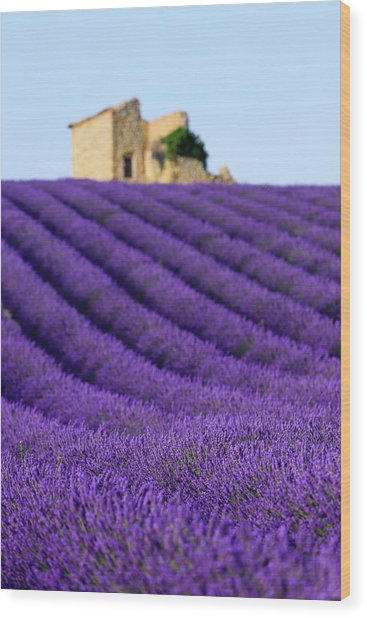 Lavender Field At Sunset Wood Print by Republica
