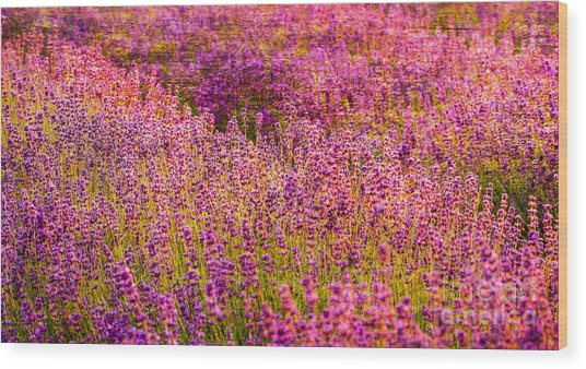 Lavender Fields Wood Print by Courtney Trusty