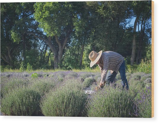 Lavender Harvest Wood Print