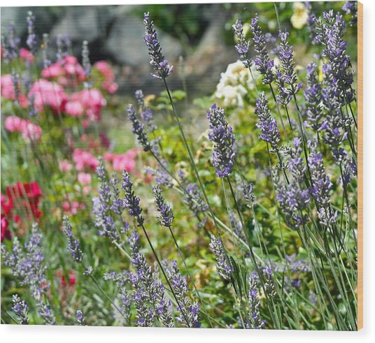 Lavender In Bloom Wood Print