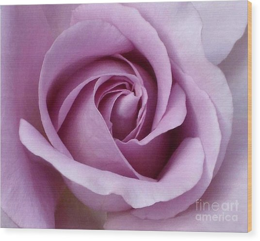 Lavender Rose Blossom 1 Wood Print