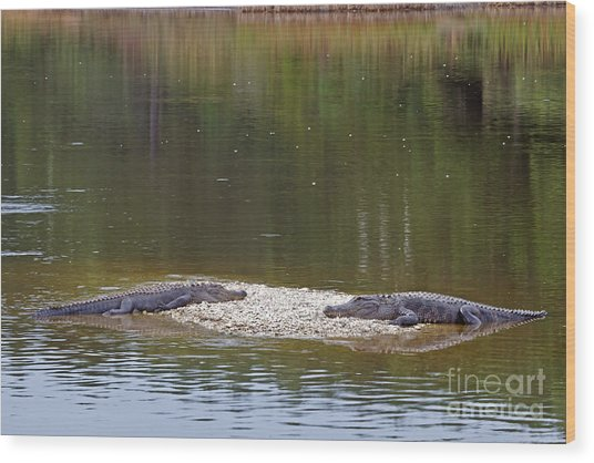 Lazy Alligators Wood Print