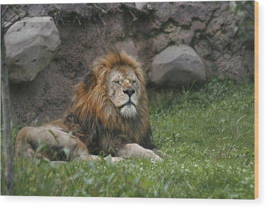 Lazy Lion Wood Print