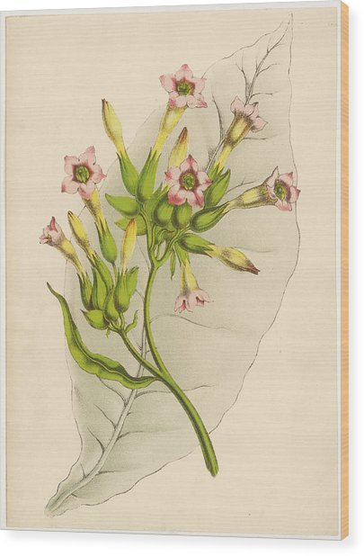Leaf And Flowers Of A Tobacco  Plant Wood Print by Mary Evans Picture Library