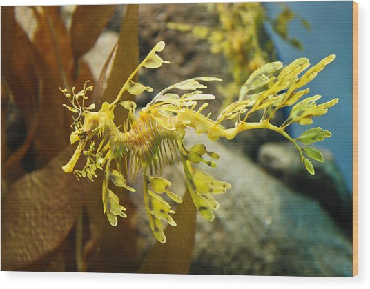 Leafy Sea Dragon Wood Print by Shane Kelly