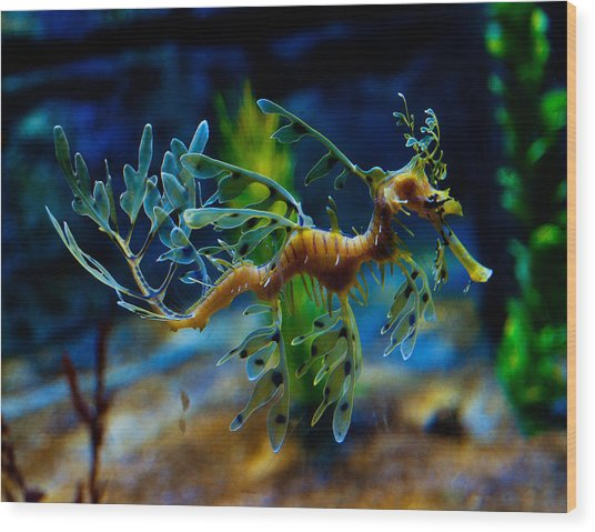 Leafy Sea Dragon Wood Print
