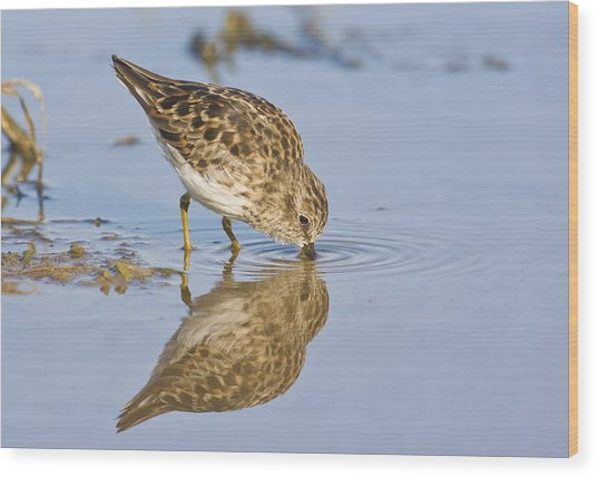 Least Sandpiper With A Reflection  Wood Print