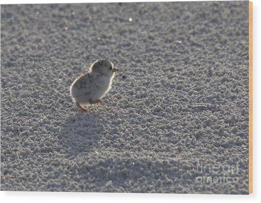 Least Tern Chick Wood Print