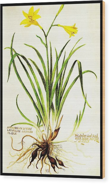 Lemon Daylily Botanical Wood Print