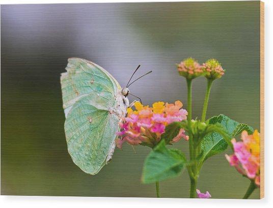 Lemon Emigrant Butterfly Wood Print