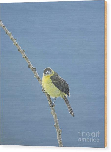Lemon-rumped Tanager Wood Print