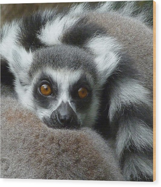 Lemur Leisure Time Wood Print