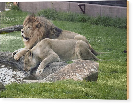 Leo And Una - Twin Male And Female Lions At The University Of North Alabama Wood Print