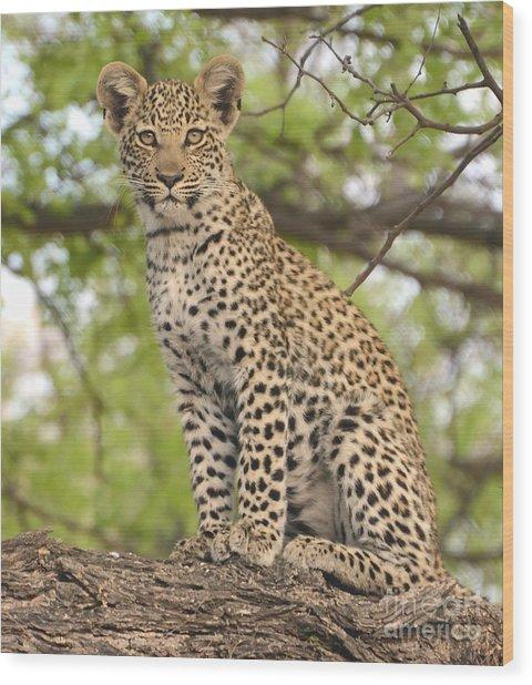 Leopard Cub Gaze Wood Print