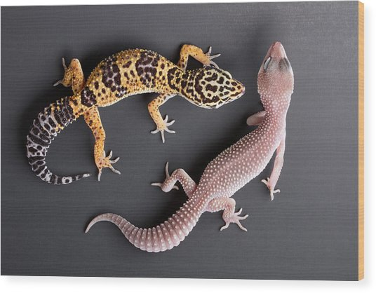 Leopard Gecko E. Macularius Collection Wood Print