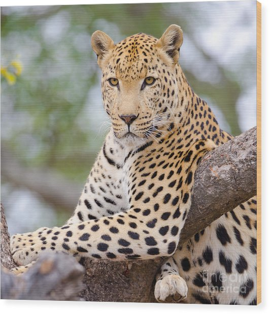 Leopard - South Africa Wood Print by Birdimages Photography