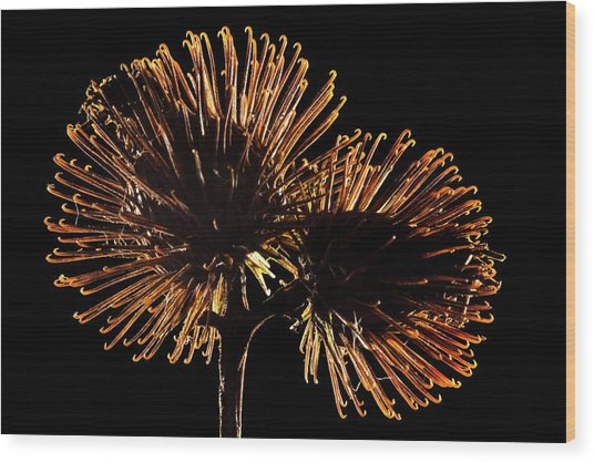 Lesser Burdock Seedheads Wood Print