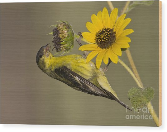 Lesser Goldfinch On Sunflower Wood Print