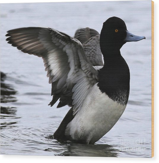 Lesser Scaup Duck  Wood Print