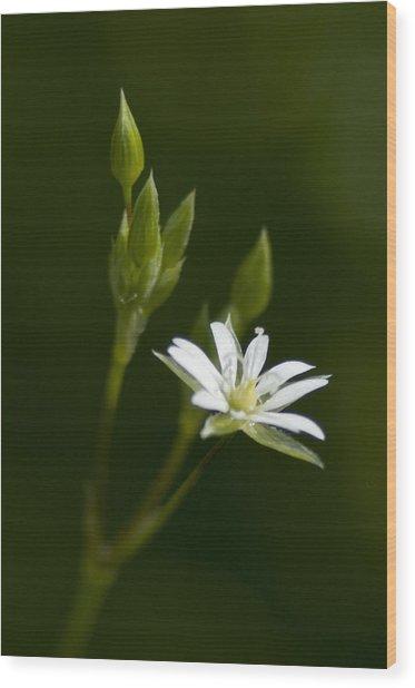Lesser Stitchwort Wood Print