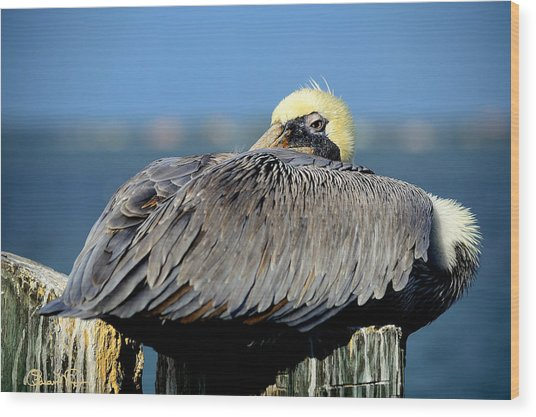 Let Sleeping Pelicans Lie Wood Print